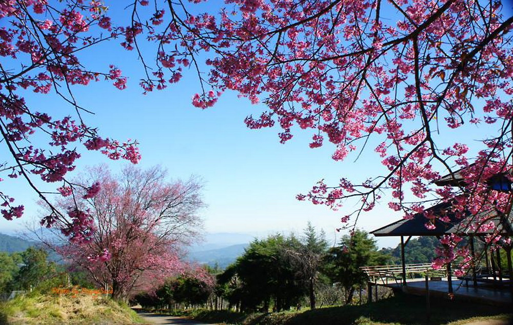 thai sakura, sakura in chiang mai, cherry blossoms, cherry blossoms in chiang mai, khun wang